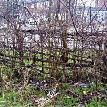 hedge at Ruxley Lane