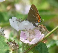 White-letter hairstreak on bramble (note the W) photo by Pamela Harwood