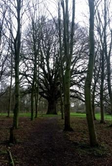 The Hogsmill Oak
